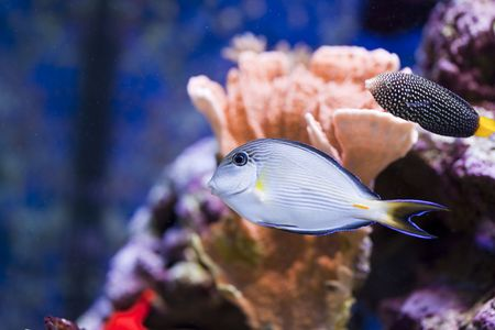 tropical animal in a salt water fish tank aquarium under water. Flash light can kill the animals so the photo was taken with available lights and reflectors  Stock Photo - 6529793