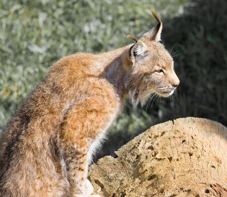 in pericolo la bella lynx pardinus o lynx pardina aka la lince iberica