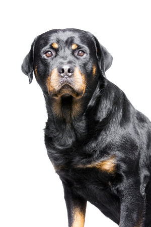 rotweiler: a rotweiler, a big but good and friendly dog Stock Photo