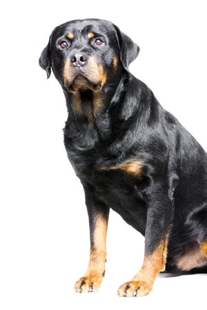 a rotweiler, a big but good and friendly dog photo