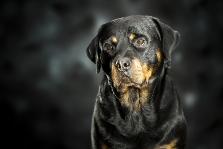 rotweiler: a rottweiler, a friendly big dog