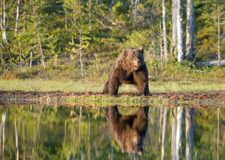 with reflection: Reflection of a large European brown bear in a pond.