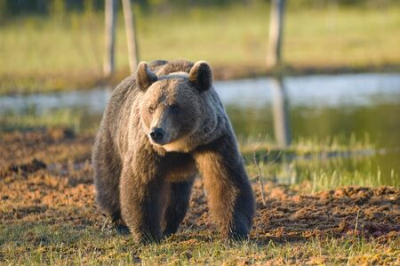 A European brown bear is walking along a small lake looking for food.
