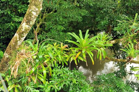 Bromeliads growing on a tree branch above a river in Costa Rica.
