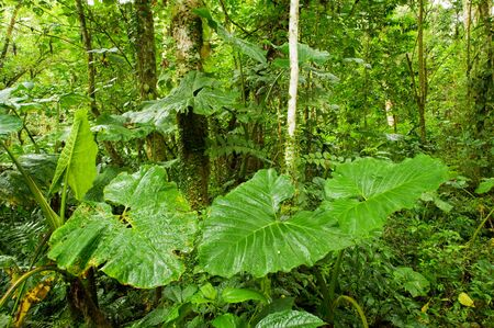 Giant philodendron leaves in the rain forest of Costa Rica photo