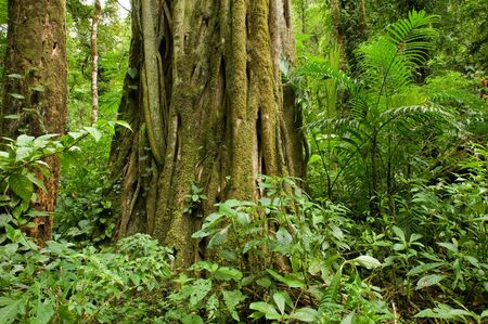 A huge vine covered tree trunk in the Costa Rica rain forest. Stok Fotoğraf