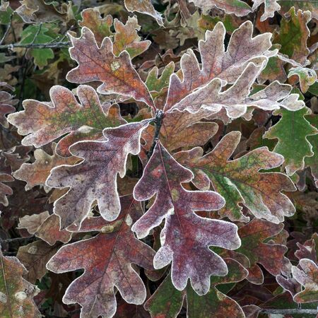 frost: Cluster of red oak leaves on a frosty morning. Stock Photo