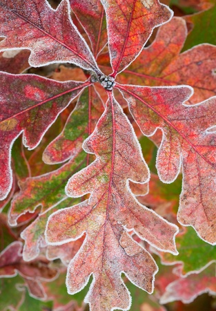 A close up of a cluster of red oak leaves with frost.