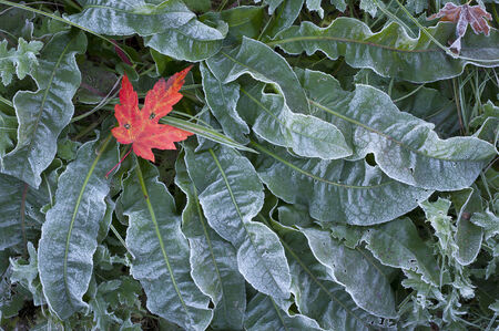 ground cover: A single red maple leaf on frosted ground cover.