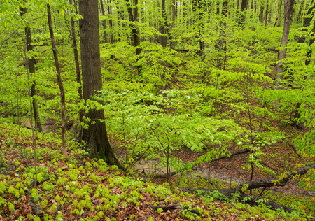 brings: Overnight rain brings out saturated green color in a Indiana hardwood forest in springtime.