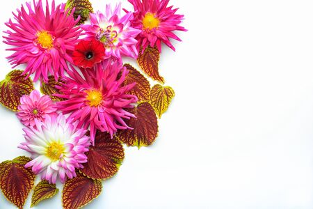 burgundy colour: Blooms of dahlias and leafs of coleus plant on a white backdrop. Stock Photo