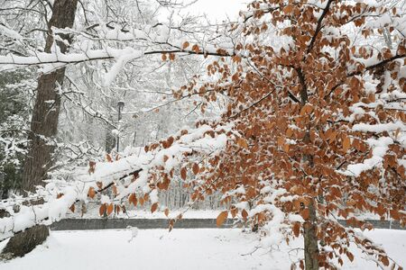 lays down: A late autumn snowstorm lays down a wet coat of snow on hardwood trees in a park.