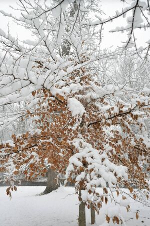Beech tree covered with fresh snowfall.