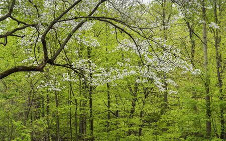 midwest: A mature dogwood tree blooms in a midwest forest.