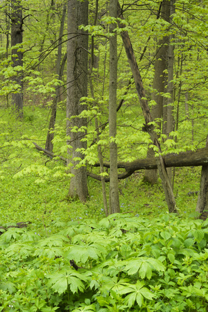 midwest: A cluster of mayapple plants and greens cover the forest floor in a midwest park.