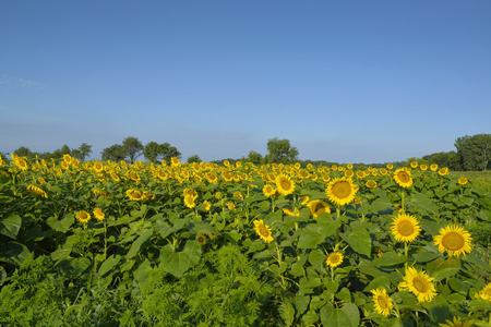 midwest: A midwest Indiana field of sunflower plants. Stock Photo