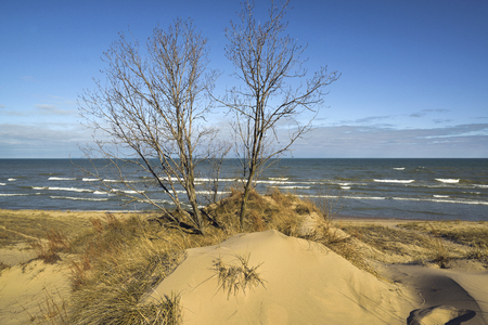 A clump of trees grows on sand dunes on the shores of lake michigan.