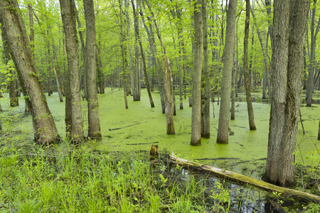 swampy: A midwest forest flooded from spring rains with vibrant green color. Stock Photo