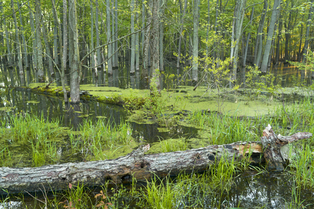 swampy: Green grass and trees leafing out in a swampy midwest forest.