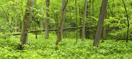 A panoramic view of lush plant growth in a midwest state park in springtime.