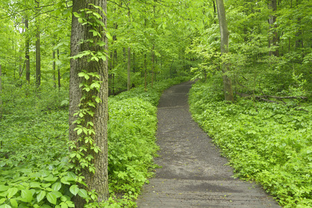 A wooden pathway cuts through dense undergrowth of plants in a midwest forest. Фото со стока