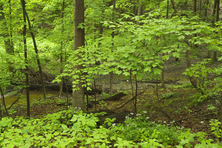 Green foliage in springtime in a midwest forest. Фото со стока