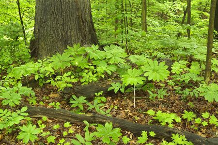 Clusters of mayapple plants cover the forest floor in a midwest state park.