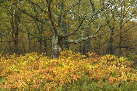 After morning rain a oak forest comes alive with colors in the Kankakee River park in northwest Indiana.