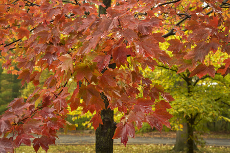 A young maple tree in vibrant crimson fall colors after a morning rain.