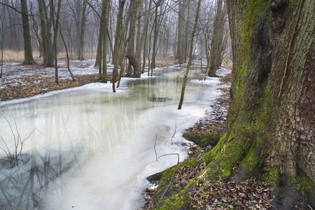A large oak tree sits next to a stream partially thawed in winter.