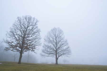 Early morning dense fog leaves two bare oak trees silhoutted in a midwest park.