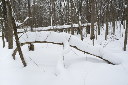Deep snow piles up on a bent tree branch in a northern Indiana forest. Фото со стока