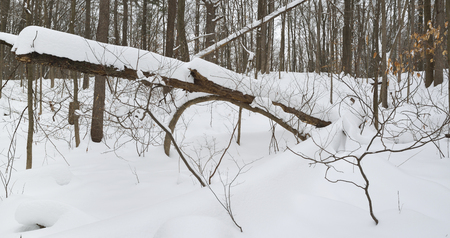 A leaning tree is covered with deep snow after several storms hit the forest. Фото со стока