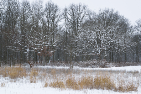 Fresh snowfall coats the oak trees in a midwest forest.
