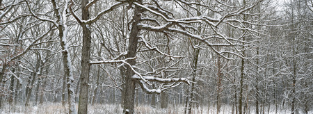 A fresh snowfall coats the branches of a midwest oak forest.