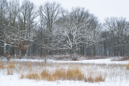 A field of golden grass and large oak trees after a fresh snowfall.