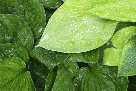 Fresh rain on colorful green and yellow hosta leafs.