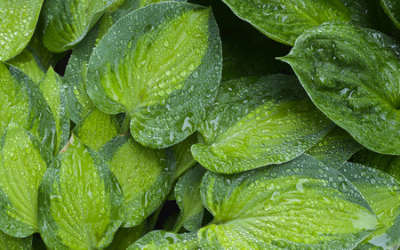 Varigated hosta leaves wet from overnight rain. Фото со стока