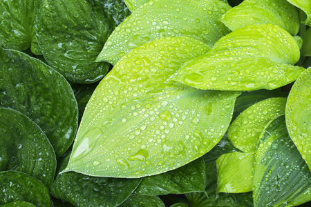 Shades of green and yellow hosta leaves with water droplets after a summer rain. Фото со стока
