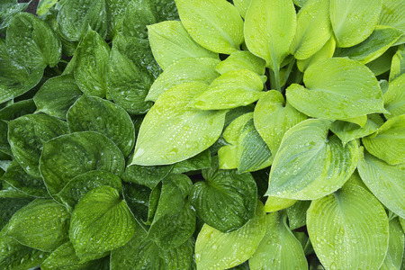 Bright green and yellow hosta leaves wet with rain after a morning storm.
