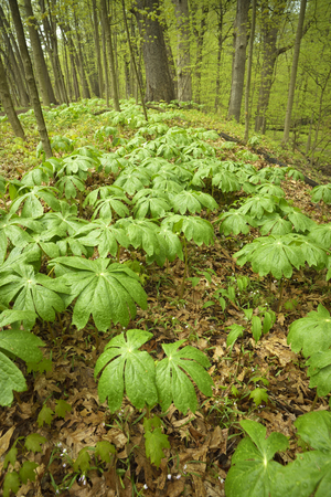 A cluster of mayapples plants on the forest floor in springtime.