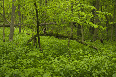 Lush green plants cover the forest floor in the Indiana Dunes State Park in spring.