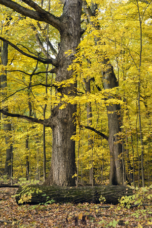 Mature maple trees ablaze with yellow autumn colors in a northern Indiana forrest. Фото со стока