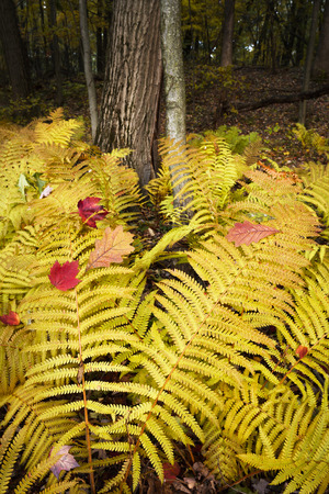 A small cluster of ferns turns a bright yellow in autumn.