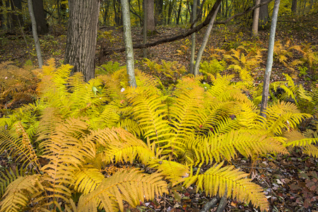 A cluster of bright yellow ferns grows in a northern Indiana forest in autumn. Фото со стока