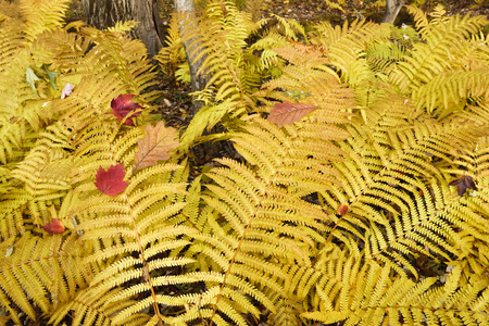 The forest floor comes alive with golden ferns in a northern Indiana woods.