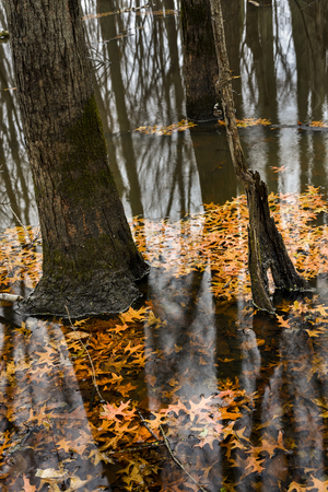 Bright orange oak leaves float on the still water of a Indiana flooded forest in autumn. Фото со стока