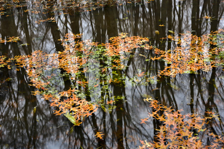 Clusters of bright orange oak leaves float on the still waters of a flooded midwest forest in late autumn.