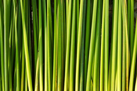 Group of the green grass,Thailand Stock Photo