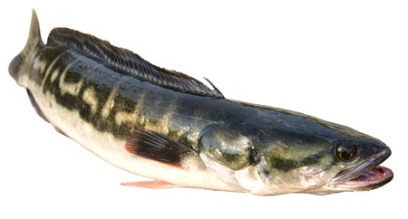 Thai giant snakehead fish  Stock Photo - 12978187